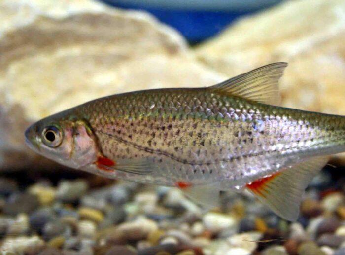 популярная рыба быстрянка