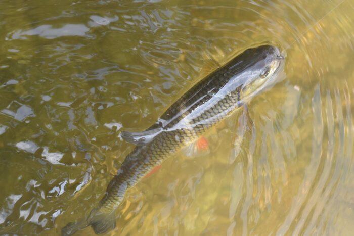 голавль является стайной рыбой