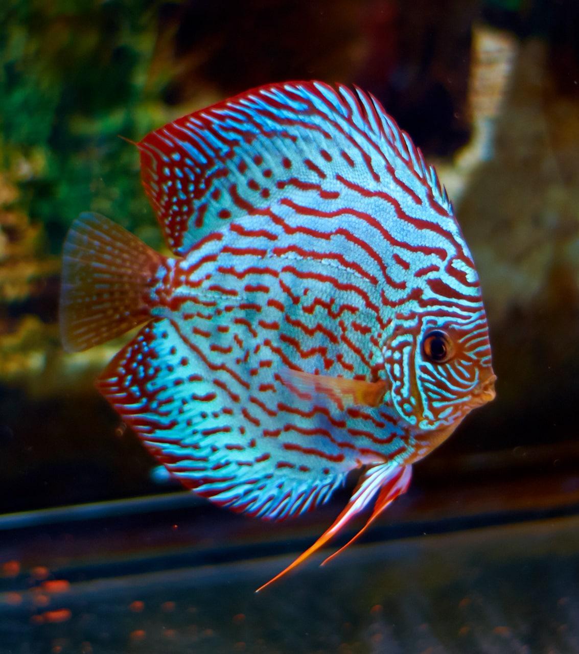 Дискус из семейства цихловых рыб