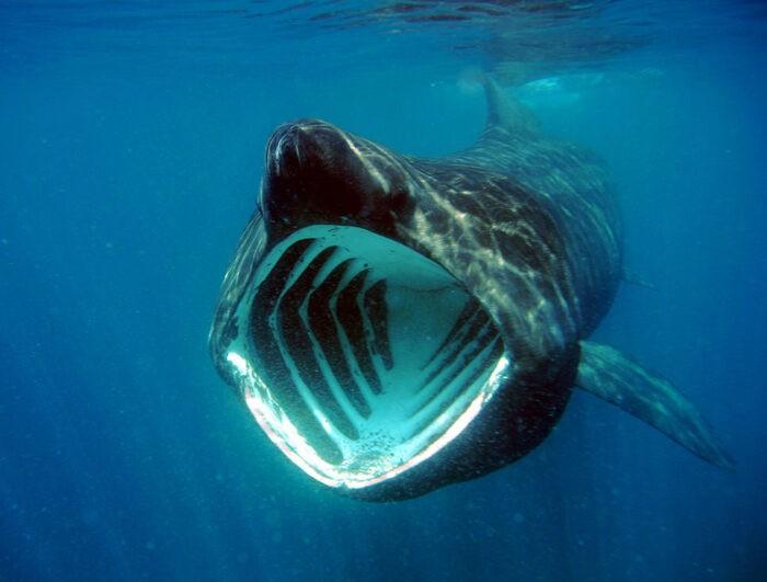 Гигантская акула опасна для человека
