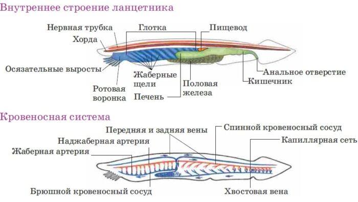 особенности строения хордовых рыб
