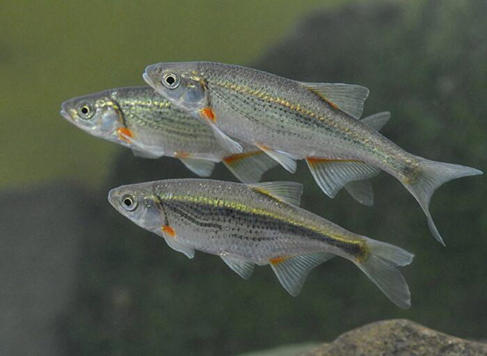 подробное описание рыбы быстрянки