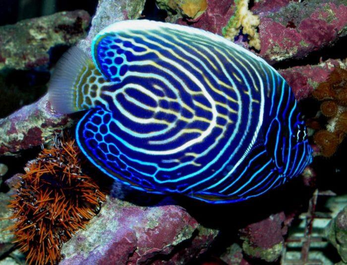 внешний вид рыбы императорский ангел