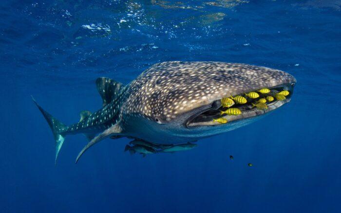Китовая акула является океаническим гигантом