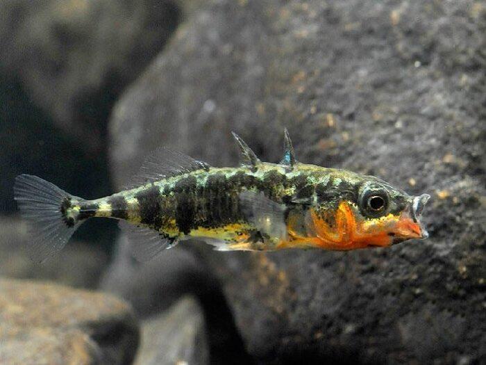 интересный окрас рыбы колюшки
