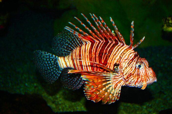 яд в плавниках рыбы лев - смертелен
