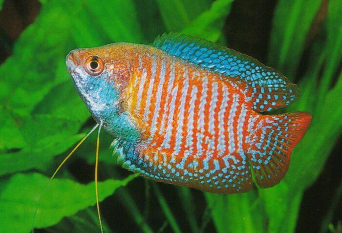 Лялиус является небольшой но расписной рыбой