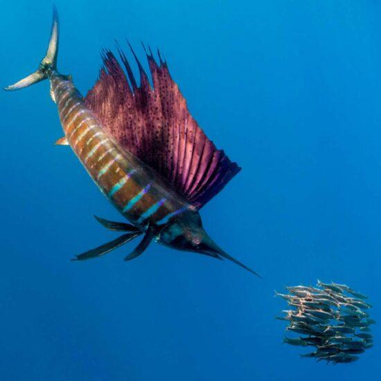 марлин питается небольшими рыбешками