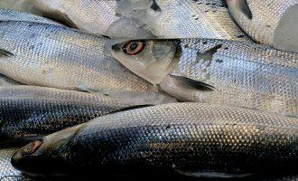 свежие тушки рыбы ханос