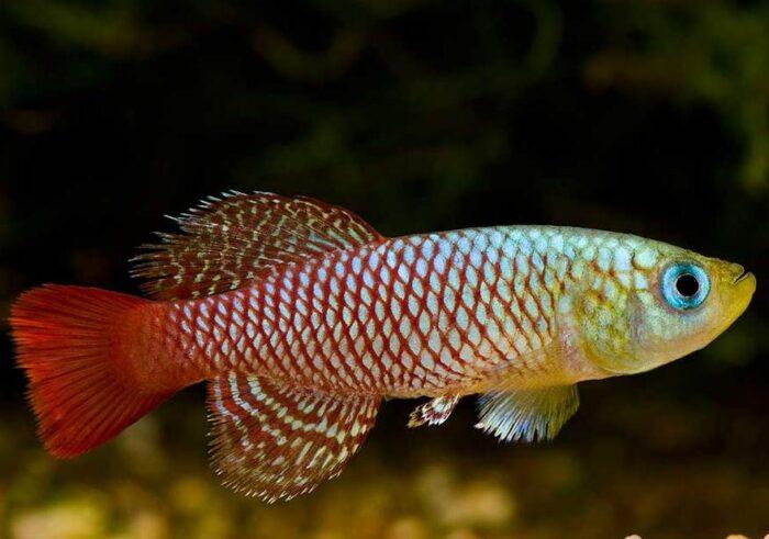 Карпозубообразные яркие рыбы
