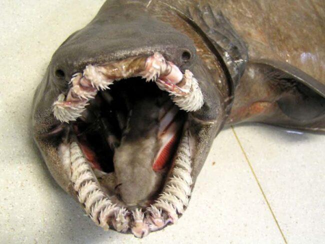 зубы плащеносной акулы устроены в несколько рядов