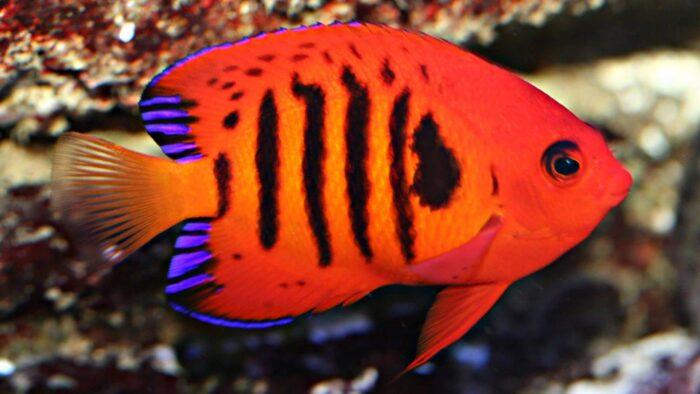 Центропиг огненный или рыба-ангел