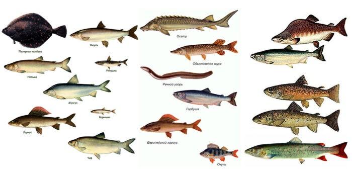 рыбы холодных морей