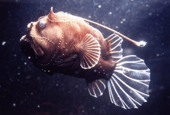 особенности строения глубоководной рыбы