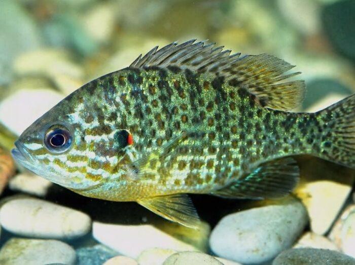 внешний вид хордовых рыб