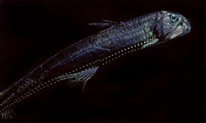 чем опасна рыба гадюка