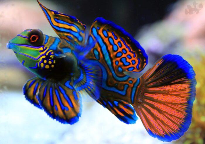 расписная рыбка-мандаринка