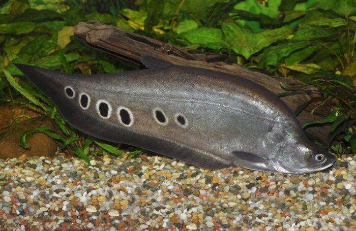 Рыба нож