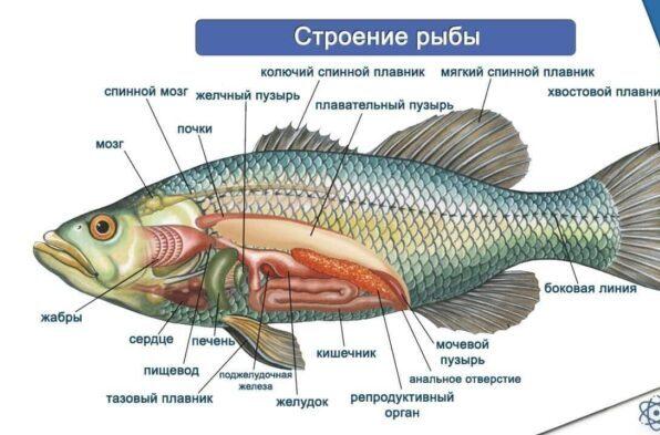 особенности строения рыбы
