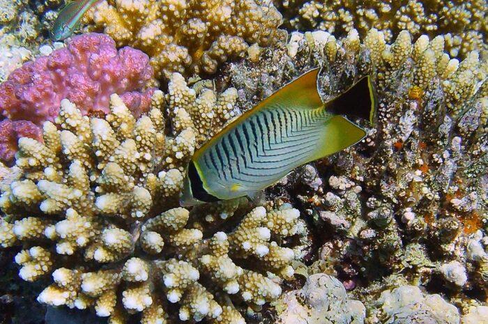 Семейство щетинозубых рыб