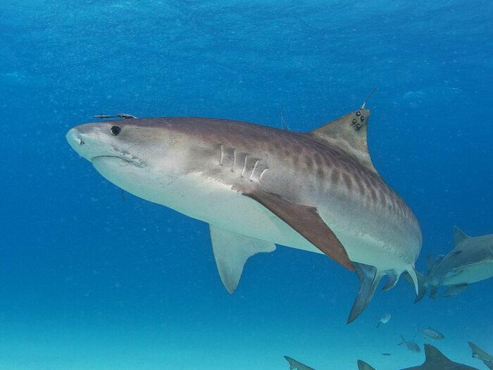 акула тигровая самый опасный хищник