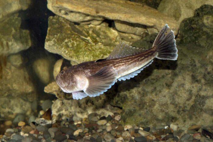 страшная рыба с названием звездочет может убить человека