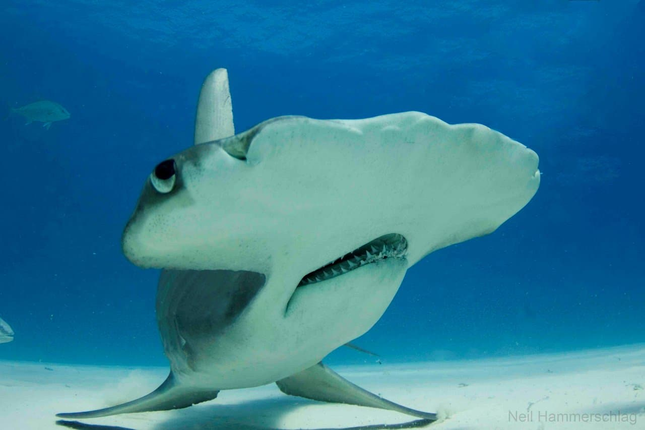 большеголовая акула является злейшим хищником
