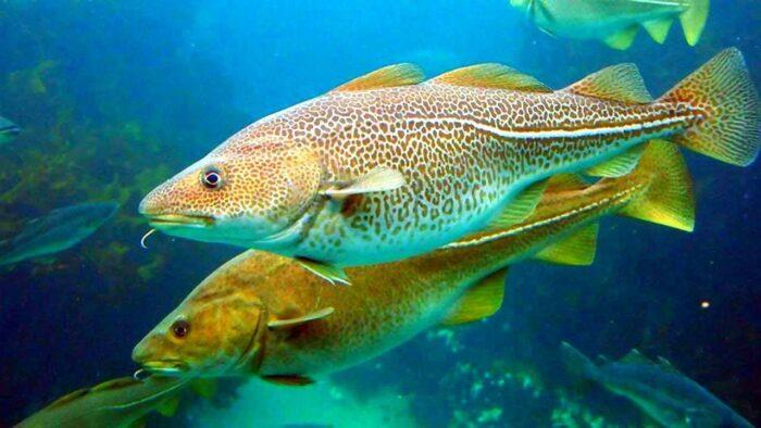 Промысловые рыбы России - список с характеристикой