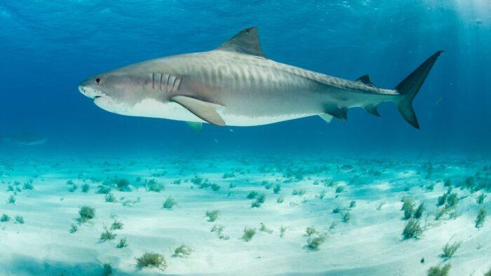 тигровая акула считается самой дорогой рыбой