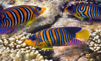 особенности внешнего вида рыбы ангел