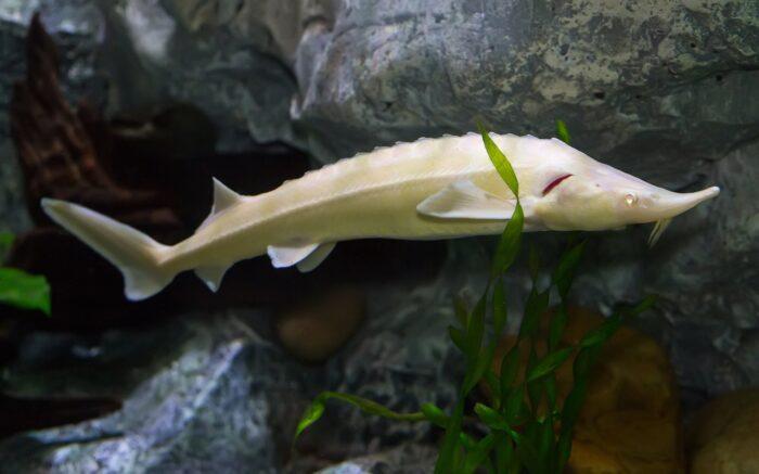 Белуга альбинос откладывает икру раз в 10 лет