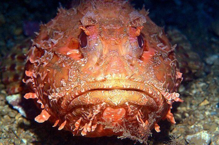 морской ерш или рыба-скорпион