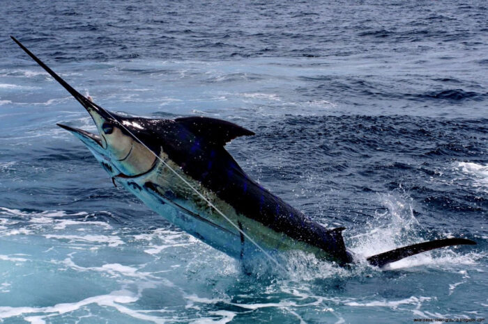 Чёрный марлин применяет особую тактику охотясь на других рыб