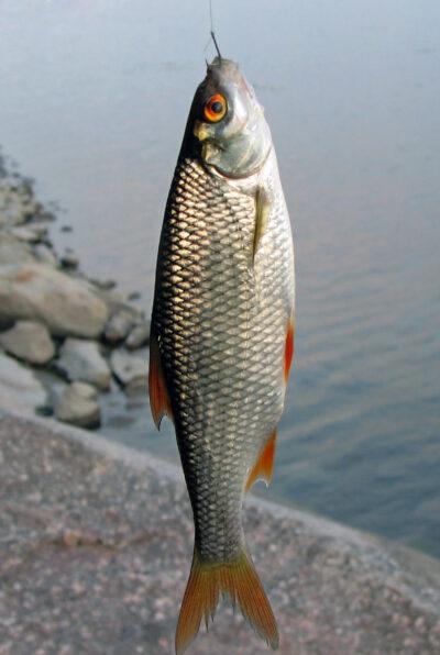 внешний вид рыбы чебак