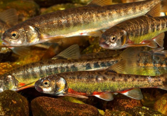 гольян небольшая но полезная рыба