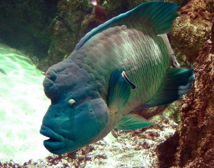 популярная рыба наполеон