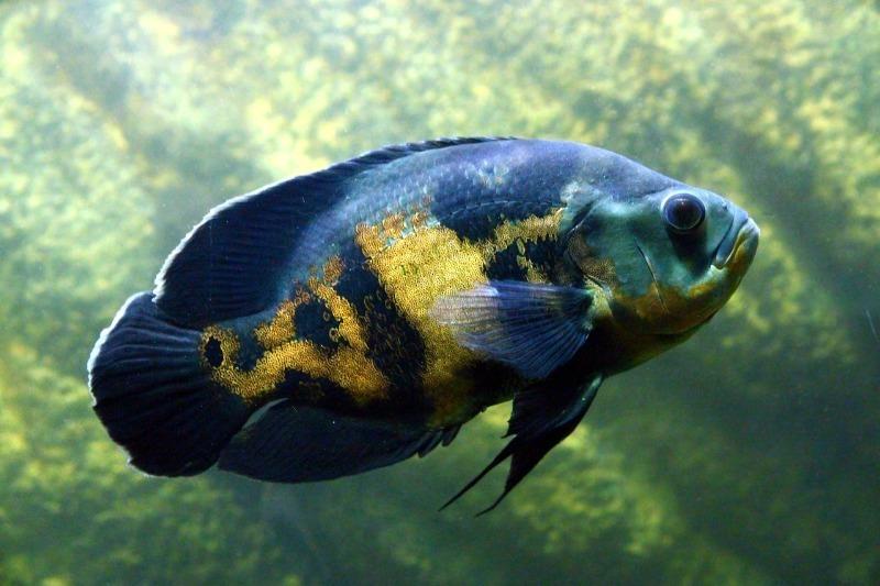 астронотус уничтожает других аквариумных жителей