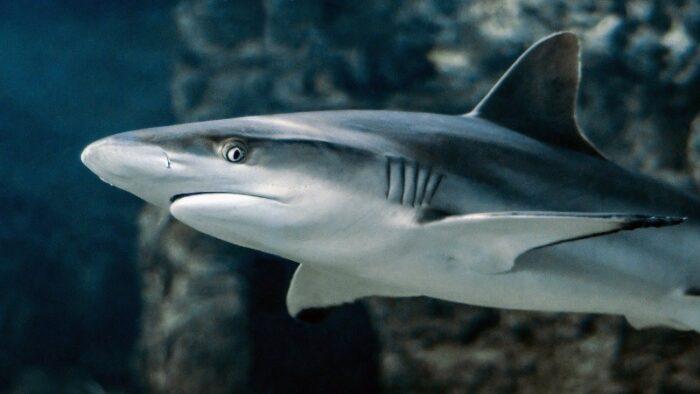 акула в естественной среде