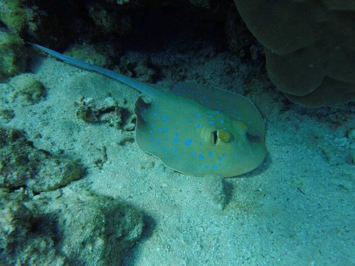 электрический скат под водой