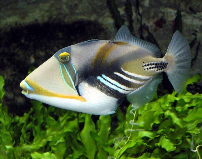 рыба пикассо в океане