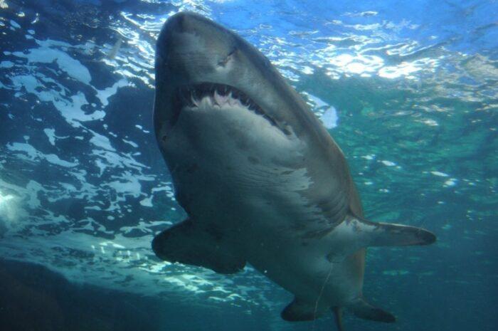 размеры акулы поражают