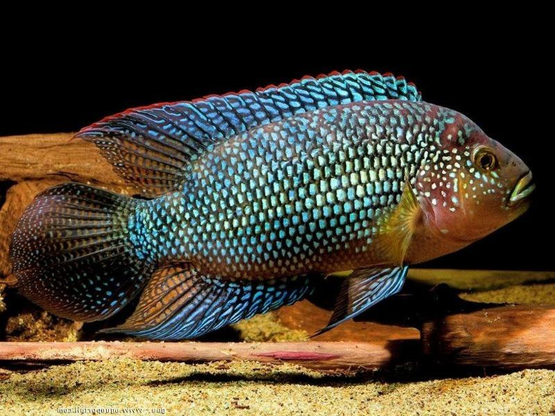 красивая рыба, которая уничтожает других обитателей аквариума