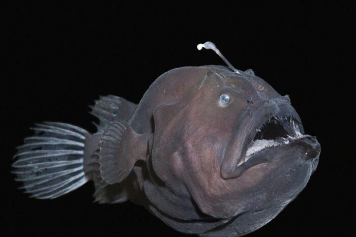 рыба удильщик после спаривания уничтожает самца