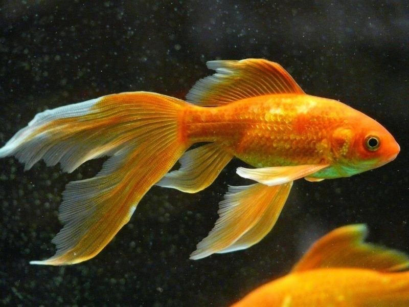 золотые рыбки внешне милые, но очень опасные для других рыб