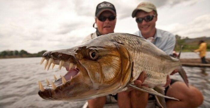 рыба голиаф с большими зубами