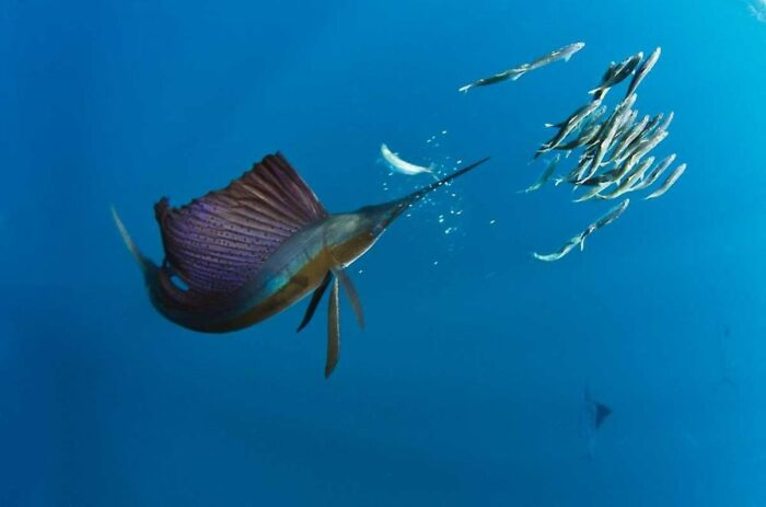 догнать рыбу парусник не сможет никто