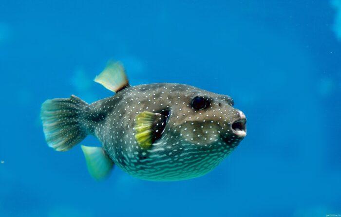 ядовитая рыба бурый скалозуб