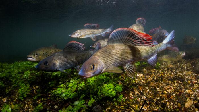 популярные рыбы рек России