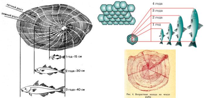 как строение рыбы меняется с возрастом