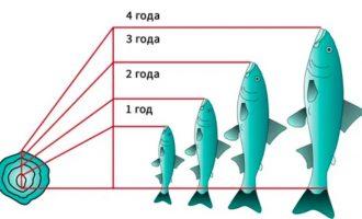 особенности определения возраста рыб